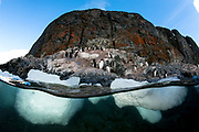 Gentoo Penguin (Pygoscelis papua), seen on land contemplating entry into the water. in the foreground ice can be seen below the water line in this over under split shot