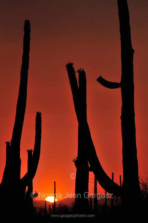 Saguaro cactus, (Carnegiea gigantea), tower over the desert in Saguaro National Park West in the Sonoran Desert in Tucson, Arizona, USA.