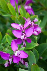Polygala myrtifolia - Sweet pea shrub