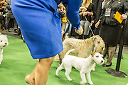 New York, NY - 16 February 2016. Dogs and their handlers about to enter the ring at the 140th Westminster Kennel Club Dog show in Madison Square Garden.