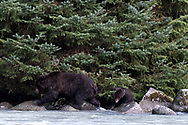 A Brown bear spring cub hurries to keep up with mama as they hunt for dead salmon along the outlet creek from Chilkoot Lake