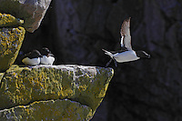 Razorbill, Alca torda, Saltee Islands Ireland