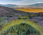 Brittlebush and Death Valley from the Grapevine Mountains, Death Valley National Park, California