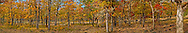 autumn Garry Oak, (Quercus garryana), Klickitat County, WA, USA panorama