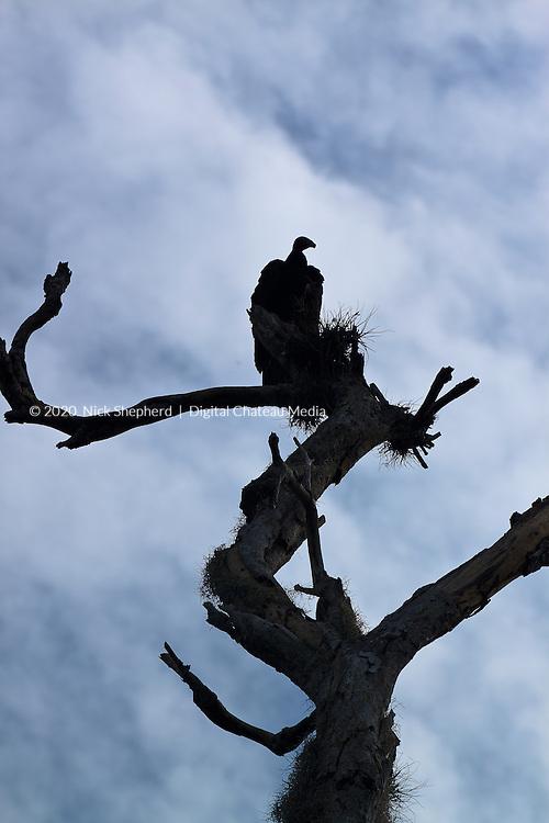 Turkey Vulture (Cathartes aura) at the Mayan ruins in Coba, Mexico.