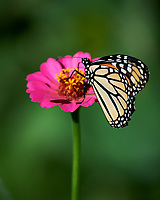Monarch butterfly on a Zinnia flower. Image taken with a Nikon Df camera and 100-500 mm f/5.6 VR lens