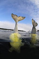 Beluga whale, Delphinapterus leucas, White Whales in Russian outdoor delphinarium, (cr),  Russia, White Sea,  PR, MR