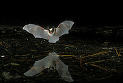 A western long-eared bat (Myotis evotis) flying over a pond in Oregon's high-desert. August, 2000. Dechutes National Forest.