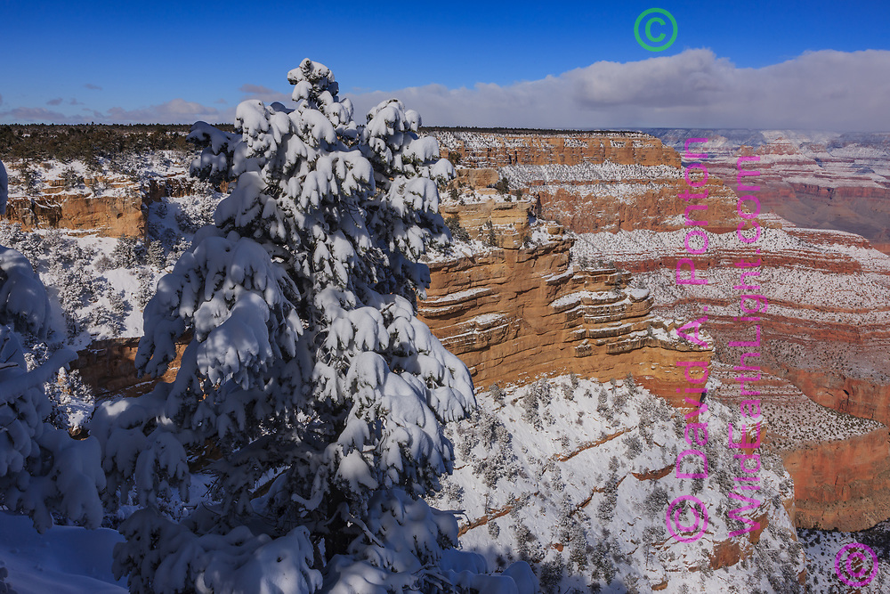 Fir tree covered with snow on the south rim of the Grand Canyon, Grand Canyon National Park, © David A. Ponton