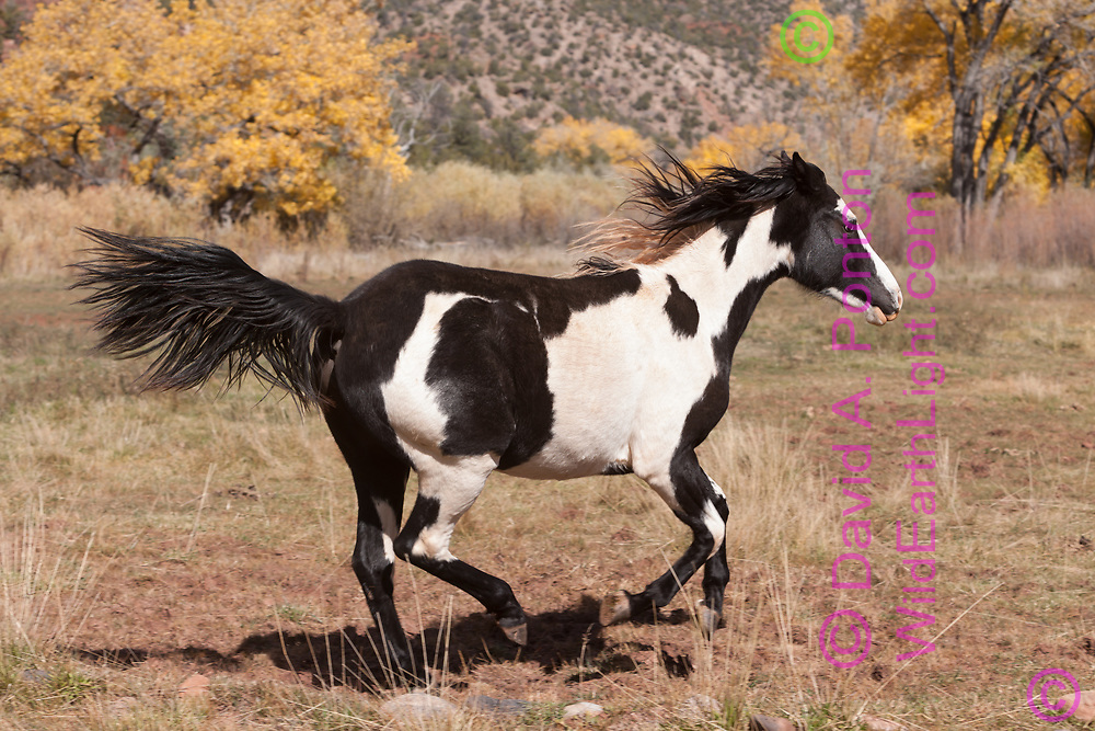 Frisky young black and white pinto mare runs across field in Jemez country in autumn, New Mexico, © David A. Ponton