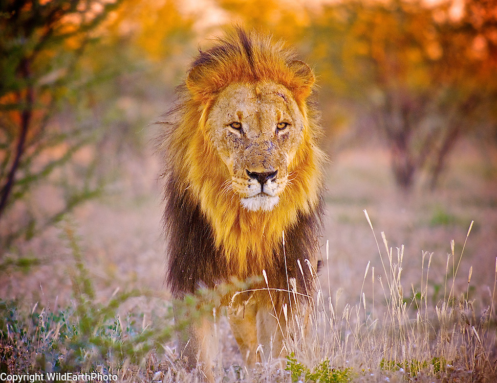 Lion King Of The Pride