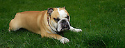 UK - Sunday, Aug 24 2008:  A bulldog relaxes lying on grass. (Photo by Peter Horrell / http://www.peterhorrell.com)