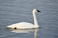 Adult Trumpeter swan (Cygnus buccinator) swimming in the Bow River, Calgary, Alberta, Canada