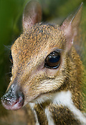 A lesser mousedeer (Tragulus javanicus) at dusk in Endau-Rompin National Park, Malaysia. These are one of the world's smallest ungulates. The large eyes aid with their nocturnal foraging habits.
