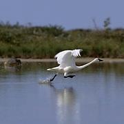 Tundra Swan (Cygnus columbianus) taking off from a  pond near Churchill, Manitoba, Canada.
