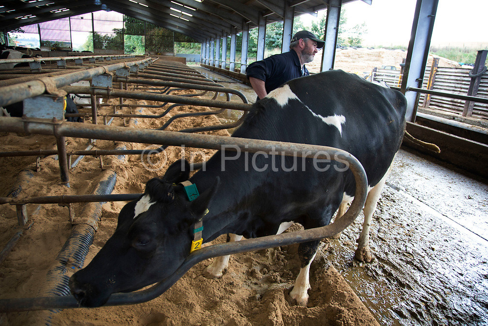 Ken Pilkington, chief herdsman, rounding up at milking time and being brought towards the milk parlour. The cows are brought in to individual stalls, their teats are disinfected, and wiped before the milking apparatus is attached. After each cow the apparatus is cleaned and rinsed; as are the stalls. All of this ensures the ultimate cleanliness in the end product, which is tested daily to ensure top quality. Wildon Grange Dairy Farm, Coxwold, North Yorkshire, UK. Owned and run by the Banks family, dairy farming here is a scientific business, where nothing is left to chance. From the breeding, nutrition and health of their closed stock of Holstein Friesian cows, through to the end product, the team here work tirelessly, around to clock to ensure content and healthy animals, and excellent quality milk. (photo by Mike Kemp/In Pictures via Getty Images)