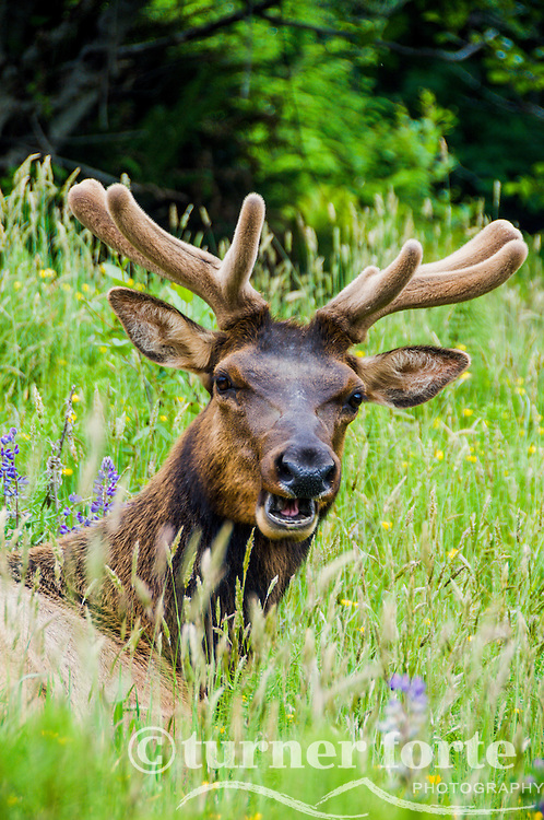 Portrait of elk grazing and laying down in wildflowers and grass, Redwood National Park, California.