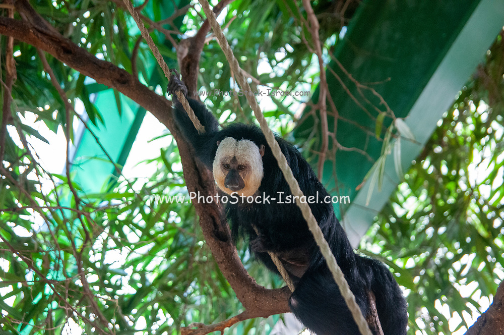 white-faced saki (Pithecia pithecia), called the Guianan saki and the golden-faced saki, is a species of the New World saki monkey. They can be found in Brazil, French Guiana, Guyana, Suriname and Venezuela.