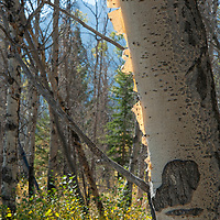Bark peels from an aspen tree that survived a massive controlled forest fire burn near Banff National Park in Alberta Canada (the Upper North Saskatchewan Prescribed Burn.)