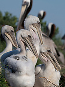 Pelican Chicks huddled on rookery in Chespeake Bay, Maryland