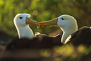 Couple of Waved Albatross in romantic environment at the Española Island at Galapagos | Et par Galapagosalbatross i romantiske omgivelser.