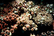 UNDERWATER MARINE LIFE WEST PACIFIC, Philippine Islands sea squirts Tunicata