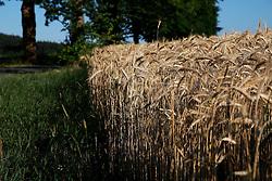 CZECH REPUBLIC VYSOCINA NEDVEZI 31JUL15 - A field of wheat near the village of Nedvezi, Vysocina, Czech Republic.<br /> <br /> <br /> <br /> jre/Photo by Jiri Rezac<br /> <br /> <br /> <br /> © Jiri Rezac 2015