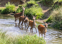 Licensed to London News Pictures. 16/06/2021. London, UK. Deer cool off in a stream in Richmond Park, southwest London this morning as weather forecasters predict a 30c scorcher today before storms hit the UK tonight. The Met Office have issued a four day yellow weather warning for thunderstorms and heavy rain for London and the South East with the possibility of lightening strikes and flooding of properties putting an abrupt end to the hot weather. Photo credit: Alex Lentati/LNP