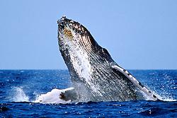 humpback whale, breaching, .Megaptera novaeangliae, .Hawaii (Pacific)