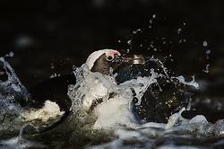African Penguin (Spheniscus demersus) at Bird Island in Algoa Bay, South Africa