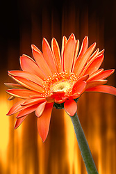 A Fiery flower against a flame backdrop