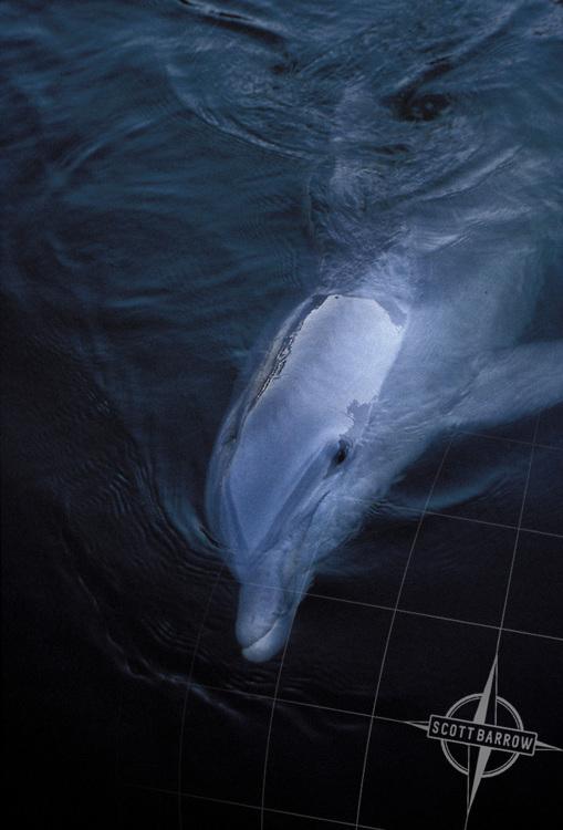 Dolphin (Family Delphinidae)