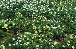 Anemone nemorosa, Primula vulgaris and Ranunculus auricomus. Windflowers, Wood anemones