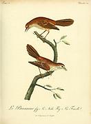 LE PAVANEUR Male and Female (Unidentified) from the Book Histoire naturelle des oiseaux d'Afrique [Natural History of birds of Africa] Volume 3, by Le Vaillant, François, 1753-1824; Publish in Paris by Chez J.J. Fuchs, libraire 1799 - 1802