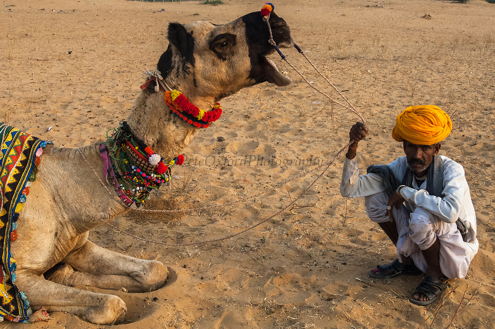 One-humped Arabian or Dromedary camel (Camelus dromedaries) with Rajasthani pastoralists at Pushkar camel and livestock fair.  Pushkar, Rajasthan. INDIA<br /> The camels arrive imaginatively sheared and tatooed to participate in the festivities. Since camels are not easy to distinguish - some traditional tattoos called Kheeng have been evolved. These help herders identify their camels with ease. Black henna or ink is normaly used but permanent marks are also made with the handles of large ladles heated on fire. These marks combined with Moondra-the decorative motives cut out of the hair give each camel its unique look. Added to these are personalized or regional fashions for the saddlery and trapping of his herd which remain the choice of each camel owner.  These long elaborate necks give plenty of space for necklaces and bells. The noses are often adorned with nose rings and the legs with bells.<br /> This fair takes place in the Hindu month of Kartik (October / November) ten days after Diwali (Festival of Lights). Pushkar has always been the the region's main market for herdsman and farmers buying and selling camels, horses, indigenous breeds of cattle and even elephants. Over the years this annual trading event has increased in volume to become one of the largest in Asia. Temporary tents and campsites suddenly appear to accomodate the thousands of pilgrims, villagers and tourists. Entertainers and contests abound and a festive funfair atmosphere prevails over Pushkar during the Mela's 2 week duration. Thousands of men come first with their camels, horses and cattle and camp on the dunes to transact business. 3 days before the full moon the women arrive beautifully attired. The 12 day fair culminates in a religious Hindu pilgrimage and reaches a crescendo on the night of the full moon (Purnima) when pilgrims take a dip in the holy lake of Pushkar.