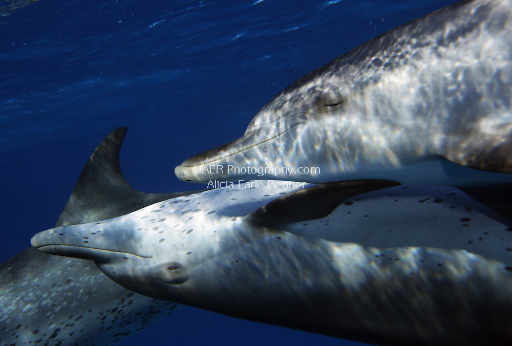 Spotted dolphins touch while swimming