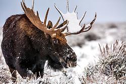 Snowy Bull Moose Portrait, Grand Teton National Park