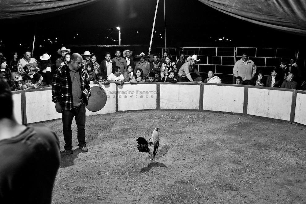 ENG:<br /> Trainer observe rooster movements.<br /> ITA:<br /> Allenatore osserva i movimenti del gallo.