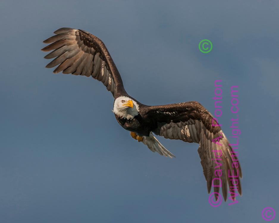Bald Eagle in flight, banking into a turn, stormy sky background, Alaska,  David A. Ponton