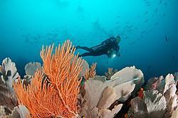Alcyonacea, Gorgonian, Riff mit Gorgonien und Taucher auf Coiba, Panama, coralreef and scuba diver with seafans at Coiba, Panama, Coiba, Panama, Ost Pazifik, East Pacific Ocean, MR Yes