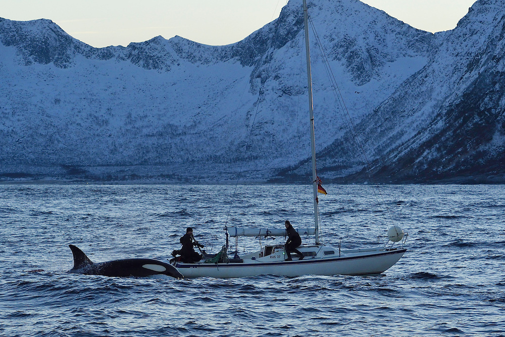 """Ecotourists/Whalewatching visitors, on board """"Orca Diving"""", operated by Marko van der Schulborg, Orcas, or Killer whales, Orcinus orca, Senja, Troms county, Norway, Scandinavia"""