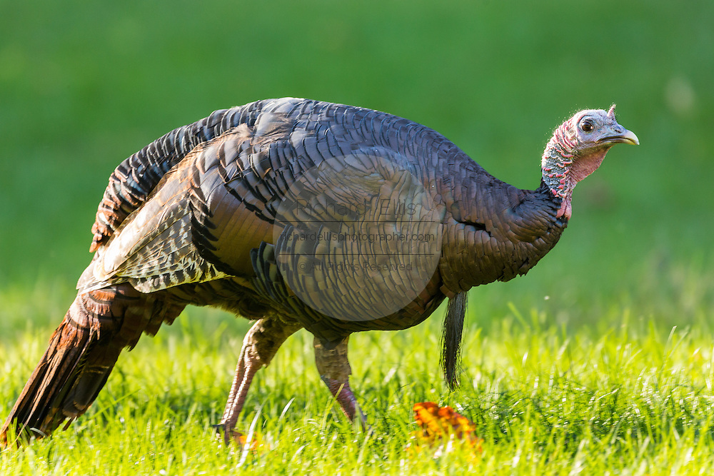 Wild turkey foraging in the Cataloochee Valley of the Great Smoky Mountains National Park in Cataloochee, North Carolina.