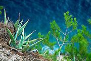 Agave and pine, overlooking sea. Makarska, Croatia