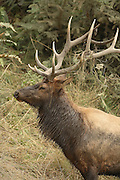Urine-soaked Bull Roosevelt Elk in Rut, Profile with grass on antlers