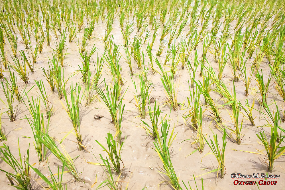 Planted Rice