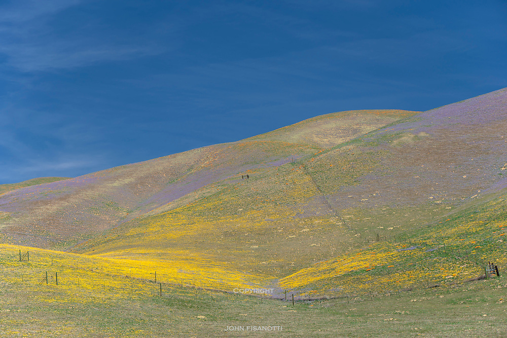 Spring Wildflowers in the Hills above Gorman, California