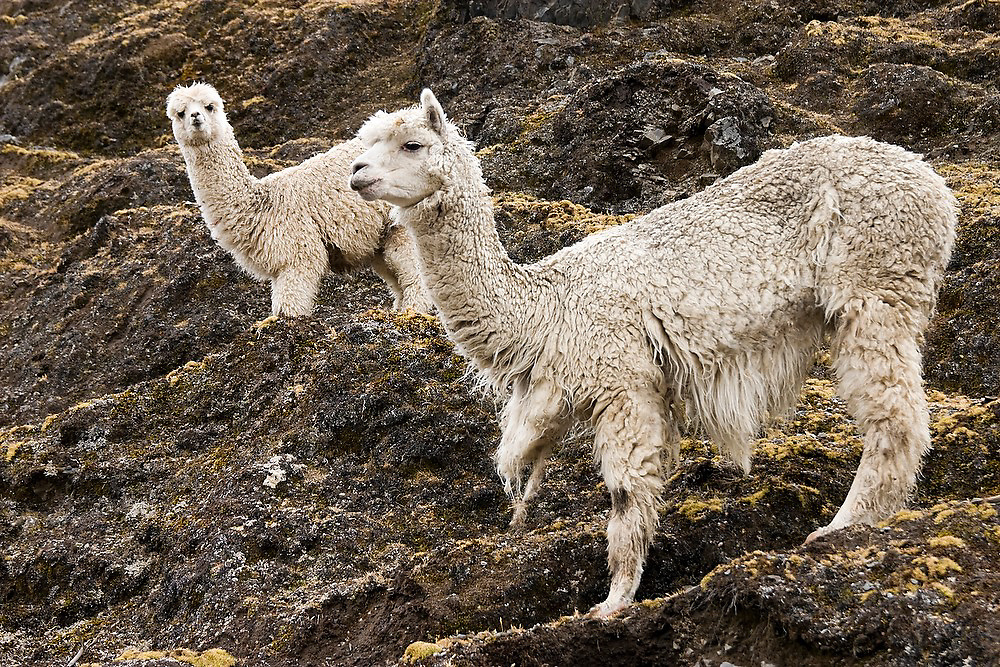 Two alpaca, herded by the Q'eros, stand on a steep slope high in the Cordillera de Paucartambo, Andes Mountains, Peru. The Q'eros, a Quecha people living in the Peruvian Andes, are considered the last direct descendants of the Incas and proudly maintain many of the ancient traditions.