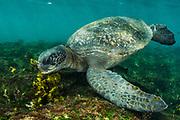 Green Turtle (Chelonia mydas agassisi)<br /> Puerto Egas, Santiago Island<br /> Galapagos<br /> Ecuador, South America