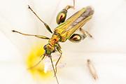 Bronze coloured Oedemera nobilis beetle on bindweed flower.