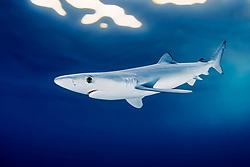 juvenile blue shark, Prionace glauca, San Diego, California, East Pacific Ocean